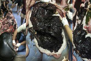 Sốc với hình ảnh cá voi chết vì nuốt hơn 80 túi ni lông rác