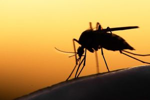 Những bệnh nguy hiểm do muỗi truyền