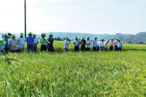 Lúa giống Thái Bình trên đồng đất Tây Nguyên