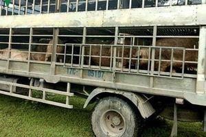 Thịt lợn không rõ nguồn gốc giá khoảng 10.000 đồng/kg qua biên giới vào Việt Nam