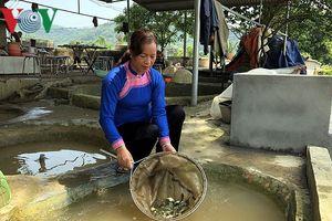 Người phụ nữ dân tộc Giáy thu tiền tỷ nhờ nhân giống cá chép