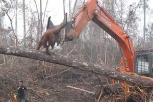 Video đười ươi 'nổi máu anh hùng' quyết cản máy ủi phá rừng