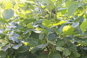 Thuốc quý: Bài thuốc kháng khuẩn từ lá cây đính