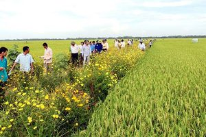Nghệ An ứng dụng mô hình 'ruộng lúa bờ hoa'