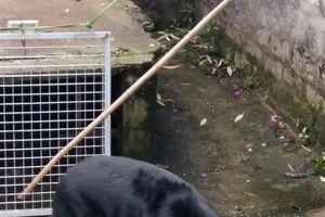 Lâm Đồng cứu một cá thể gấu ngựa