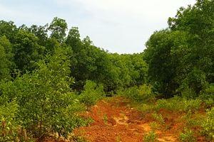Quảng Bình: Rừng xanh sau khai thác titan, vì sao?
