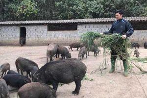 Nuôi đàn lợn rừng 400 con, chỉ tốn rau, cỏ, 15 năm chả lo mất giá