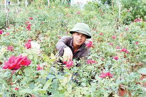 'Phát hờn' với vườn hoa hồng ta giá tiền tỷ của chàng trai quê lúa
