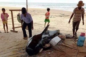 Cá voi nặng hơn 400kg trôi dạt vào bờ biển Quảng Ngãi