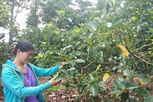 Cơ hội cho cây ăn quả Gia Lai: Nông dân chủ động chuyển đổi