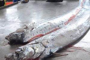 Khám phá sửng sốt ít ai hay về cá 'động đất'