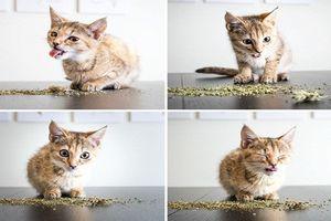 Loạt ảnh khó tin về hành động của loài mèo phê cần