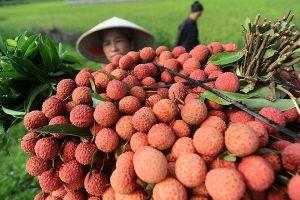 Bắc Giang thu về gần 4.000 tỉ đồng từ vải thiều