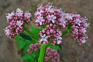 Bài thuốc từ cây nữ lang - vị cứu tinh cho những người mất ngủ lâu năm