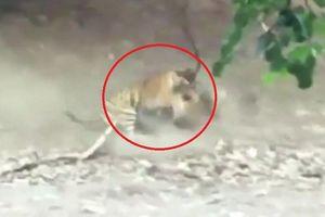 Clip: Đôi hổ cắn xé nhau ác liệt chỉ vì 1 miếng thịt