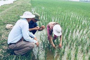 Nguy cơ bùng phát bệnh lùn sọc đen tại Nghệ An