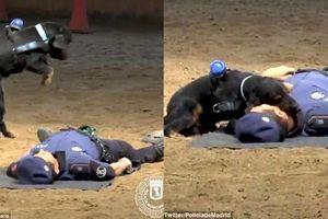 Chú chó cảnh sát được huấn luyện cấp cứu cực đáng yêu