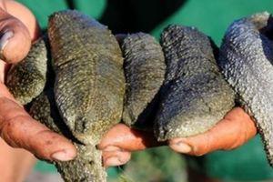 Quảng Ngãi: Nuôi loài 'thần dược biển cả' trong đầm nước mặn