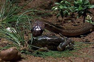 Thế giới động vật: Rắn hổ mang con lần đầu tiên săn mồi theo bản năng