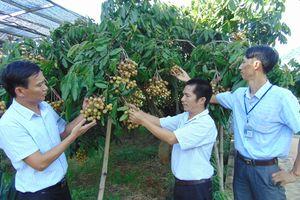 Sơn La tổ chức nhiều hoạt động quảng bá, xúc tiến tiêu thụ sản phẩm Nhãn