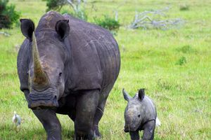 Tê giác con kêu khóc thảm thương trong đêm khi mẹ bị giết chỉ vì 1cm sừng