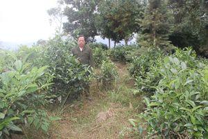 Cựu chiến binh người Mông gieo mầm sống cho 2.500 gốc sa mu, pơ mu
