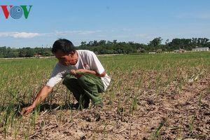 Nắng nóng 'thiêu đốt' đồng ruộng ở Nghệ An