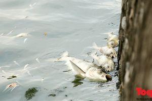 Đã có nguyên nhân khiến cá chết hàng loạt ở hồ Tây