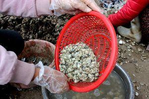 Khám phá thú vị về con hà cồn, đặc sản Quảng Ninh