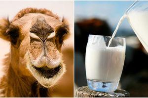 Lợi ích thần kỳ của sữa lạc đà