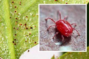 Chi tiết về loài nhện đỏ gây hại phổ biến ở Việt Nam