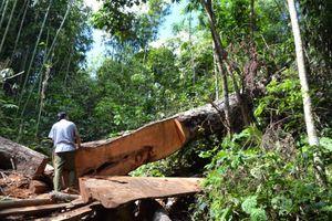 Phá rừng ở huyện Bắc Quang: Chặt cây cổ thụ... là để xóa nhà tạm cho hộ nghèo!
