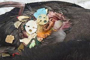 Clip: Chim lớn bụng đầy nhựa, chim non buông mình chết từ tổ