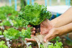 Kiểm soát rau an toàn theo chuỗi khép kín từ sản xuất đến tiêu thụ