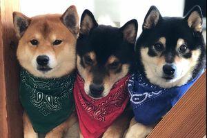 3 anh em chó Shiba nổi tiếng trên mạng, có trang web bán hàng online
