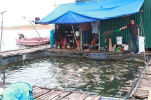 Nuôi cá lồng trên hồ Thác Bà: Đừng làm ô nhiễm bể nước ngọt Yên Bái