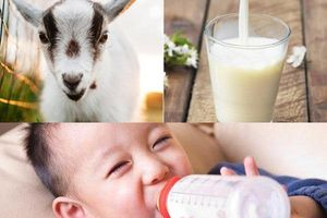 Sữa dê và những lợi ích tuyệt vời đối với trẻ nhỏ, các ông bố bà mẹ sẽ hối hận nếu bỏ qua