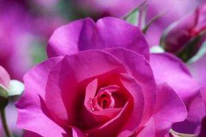 Công viên hoa hồng lớn nhất Việt Nam sẽ mở cửa từ ngày 2/9