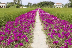 'Chịu chơi' trồng con đường hoa mười giờ từ đồng về nhà đẹp như vẽ