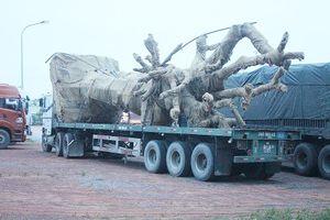 Phát hiện xe đầu kéo chở cây 'siêu khủng' lưu thông qua Quảng Trị