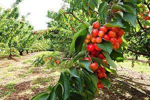 Đột nhập trang trại cherry chín mọng ở Australia