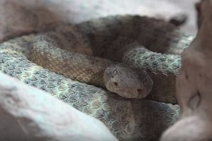 Hé lộ bí mật bên trong đuôi rắn chuông cực độc