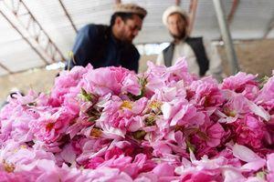 Trồng hoa hồng thay anh túc, nông dân Afghanistan tận hưởng thành công