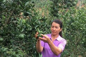Vườn cam Vinh 2.000 gốc trên đất dốc, trái trĩu cành, lãi 300 triệu/năm