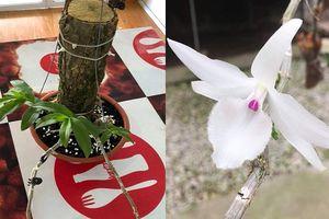 Giò phong lan 'đẹp - độc - dị' có giá 700 triệu đồng