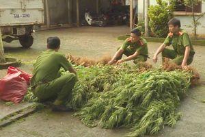 Người đàn ông thuê rẫy trồng cần sa tiêu thụ