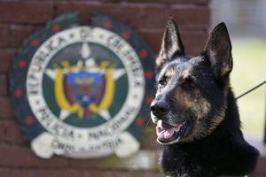 Trùm ma túy Colombia treo thưởng 7.000 đô để truy sát chó nghiệp vụ