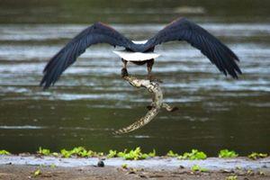 Cá sấu bất lực nhìn đại bàng bắt con
