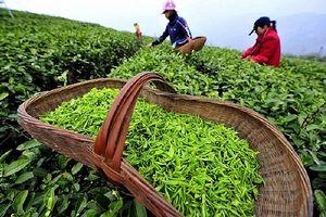 Xuất khẩu sang Hoa Kỳ tăng mạnh, chè Việt vẫn chỉ chiếm 2% thị phần