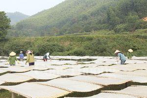 Quảng Ninh: Gỡ khó tiêu thụ sản phẩm miến dong Bình Liêu
